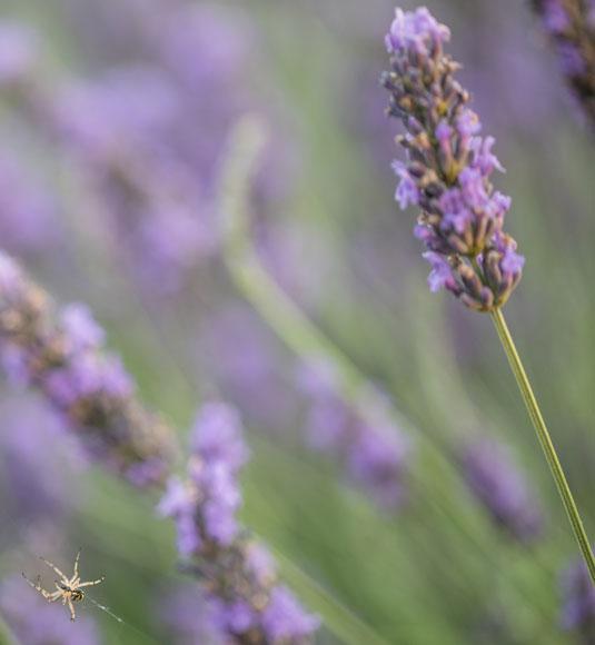 Lavendel im Vaucluse