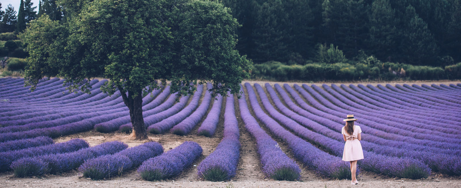 Lavendel Provence © Coquard