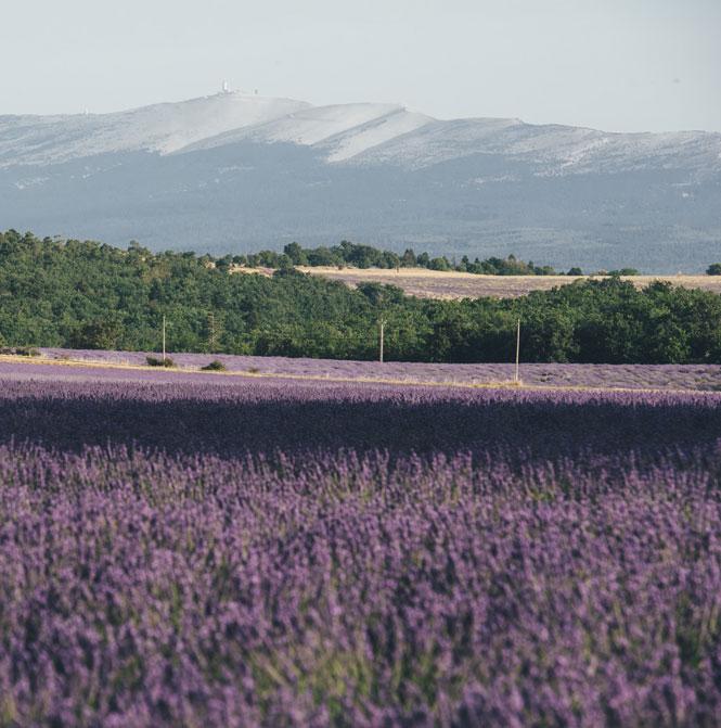 Lavendel Ventoux